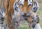 Six Siberian tigers cubs born at Taigan safri park