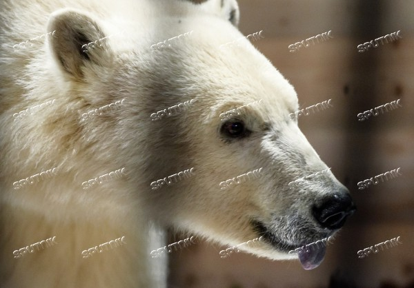 Polar bear Snezhinka delivered to Leningrad Zoo