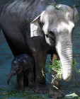 Asian elephant calf born at the Moscow Zoo
