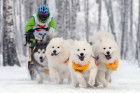 Dog sled race in Novosibirsk
