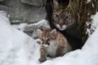 Baby pumas born at Novosibirsk Zoo