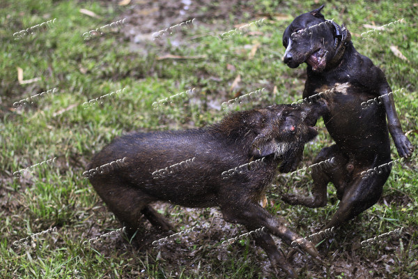 Adu Bagong tournament pits wild boars against dogs in