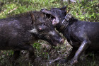 Adu Bagong tournament pits wild boars against dogs in Indonesia