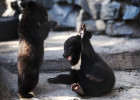 Asian black bear cubs at Novosibirsk Zoo