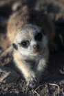 Meerkat and East Caucasian tur born at Moscow Zoo