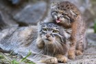 Pallas' cat kitten at Novosibirsk Zoo