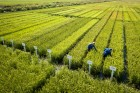 Growing rice in Krasnodar Territory