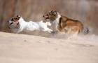 Russia Dog Coursing