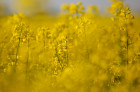 Russia Rapeseed Blossom