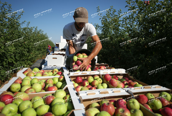 Russia Apples Harvest
