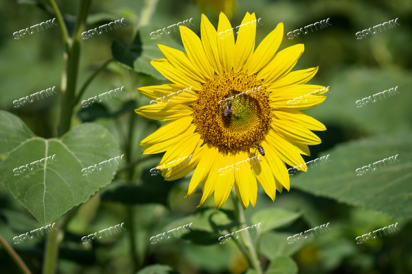 Russia Sunflowers