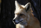 Russia Domesticated Fox