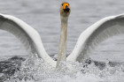 Russia Nature Reserve Swans
