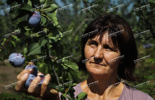Russia Plums Harvest