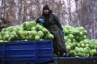 Russia Cabbage Harvesting