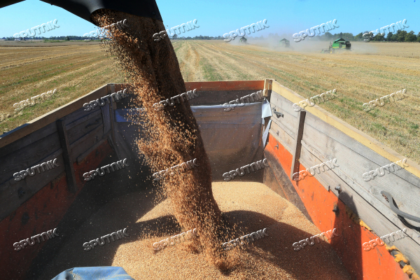 Wheat harvest in Kaliningrad Region