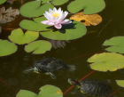 Water lilies blooming in Botanical Garden