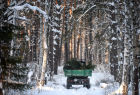 Christmas tree harvesting in Novosibirsk forestry