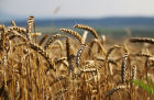 Grain harvest in Russia's south