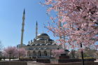 Cherry blossoms in Grozny