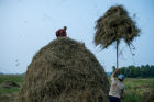 Harvesting hay in Omsk region