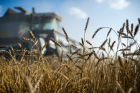 Wheat harvest in Omsk Region