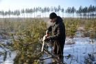 Cutting down fir trees ahead of New Year in Trans-Baikal Territory