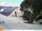 First total snow leopard count in Russia