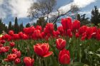 Tulip Parade at Nikitsky Botanical Garden
