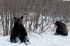 Bumming bears on Sakhalin highways