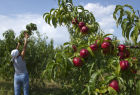 Picking fruits in Crimea