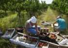 Harvesting fruit in Crimea